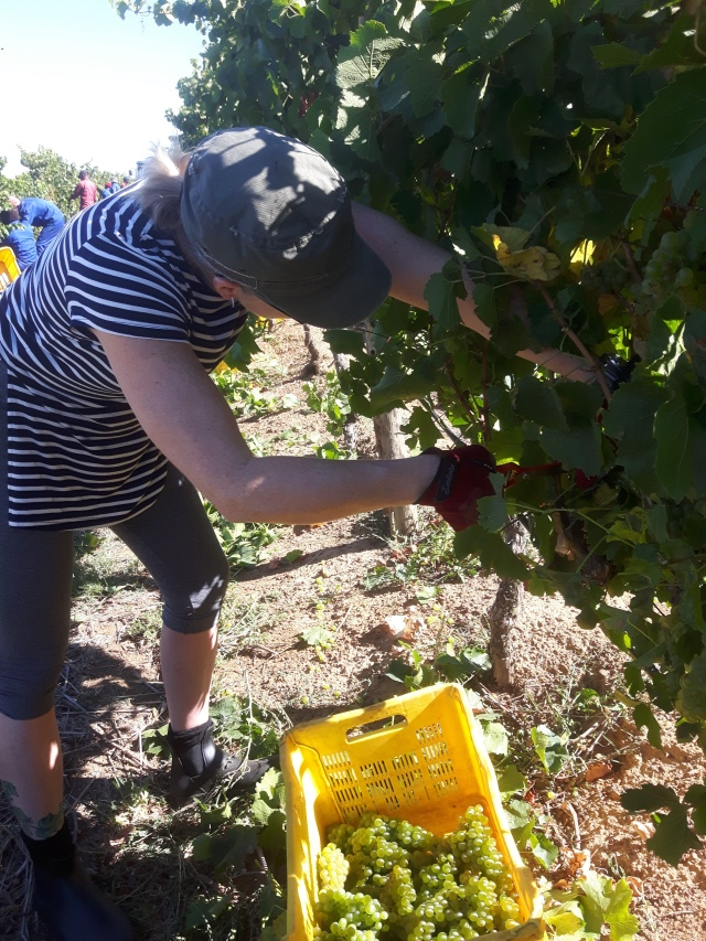 Trying my hand at picking Chardonnay through a variety